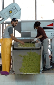 Winemaker, Evelyn Vidal, working directly on the sorting tables.