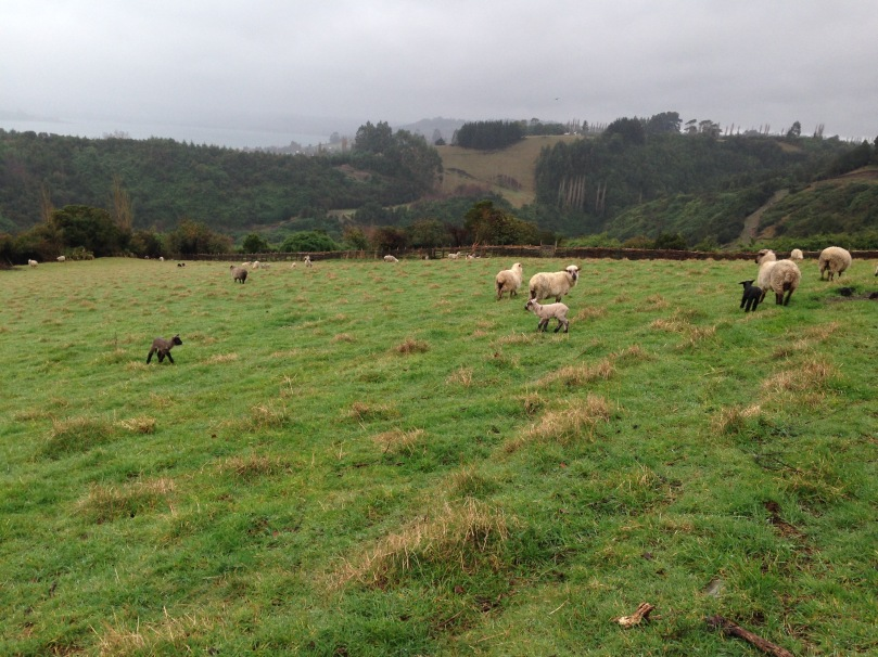 Sheep graze on a hillside near Castro.