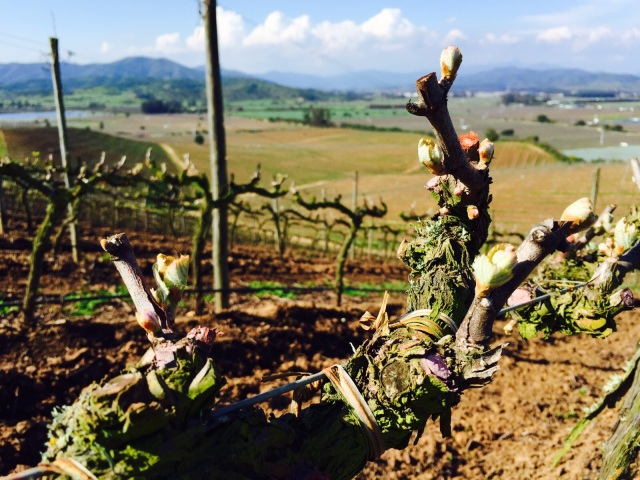 Kingston Family Vineyards-bud break on old vines