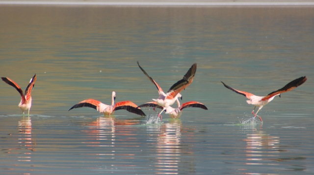 Kingston Family Vineyards-Flamingos in Patagonia