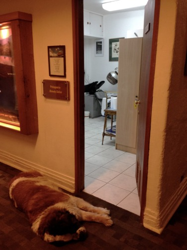Saint Bernard dog sleeping next to the beauty salon at Ski Portillo