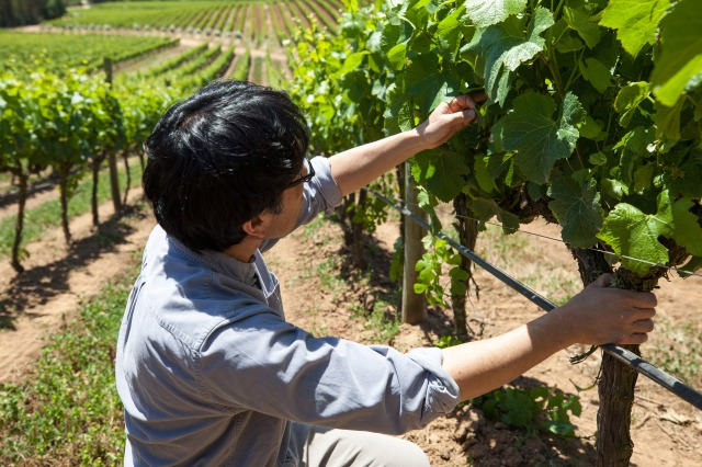 Byron Kosuge inspecting vines during a routine vineyard check.